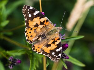 Orange and black 'painted lady' butterfly