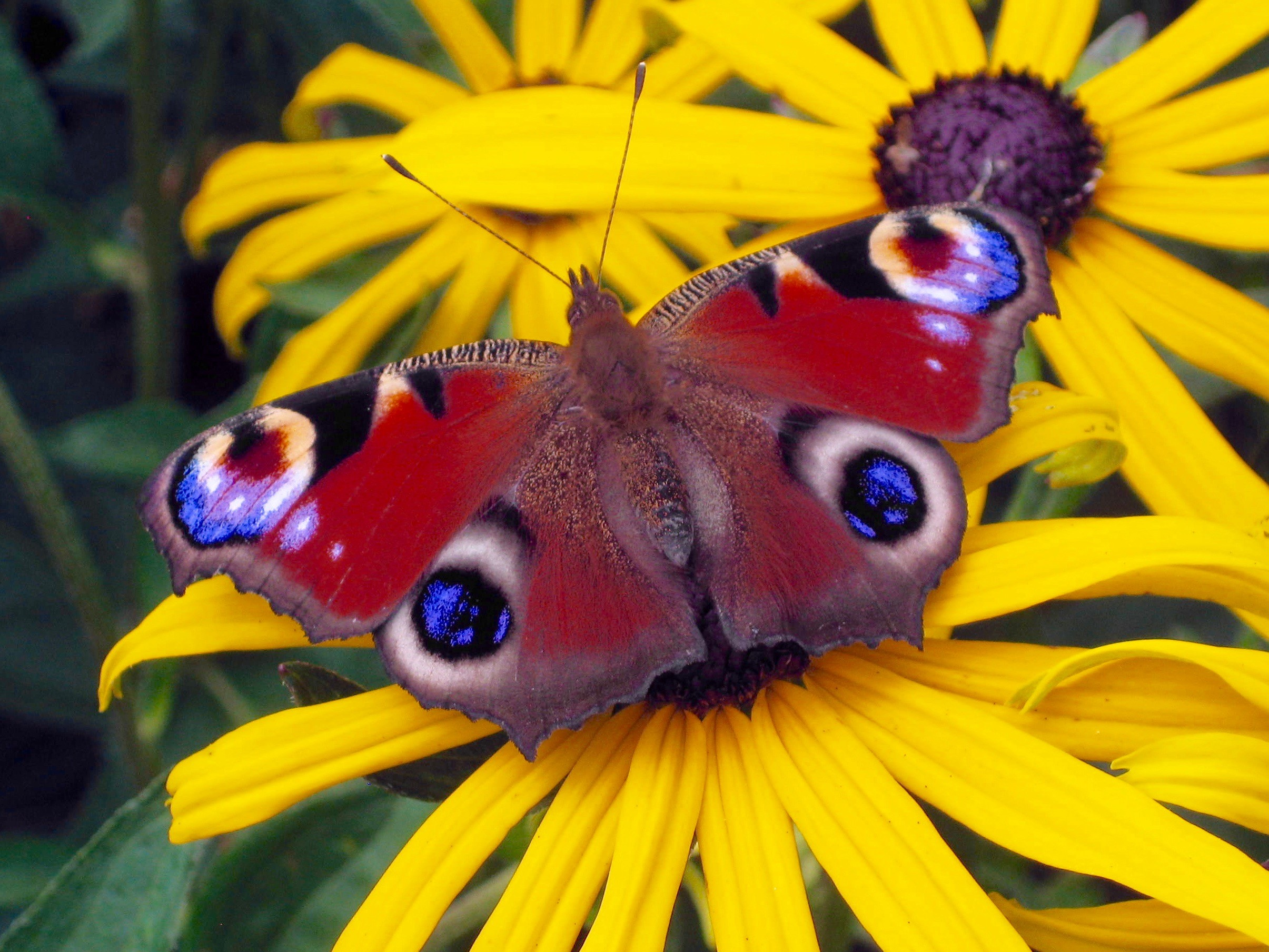 Red and purple peacock butterfly